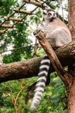 Ring-tailed Lemur Relaxing On A Log Royalty Free Stock Photos