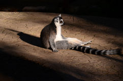 Ring-tailed lemur. Ring tailed lemur relaxing in the sun Royalty Free Stock Photography