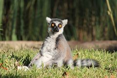 Ring-tailed lemur. A ring-tailed lemur, native to Madagascar, sits in the sun and stares with its vibrant orange eyes Stock Photo