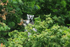 Ring-tailed lemur. On the tree Stock Images
