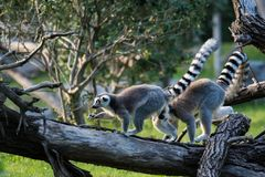Ring-tailed lemur. Scientific name: Lemur catta, also known as nocturnal lemur. Is the only species of genus Lemur under the genus Lemur. Located in southern Royalty Free Stock Images