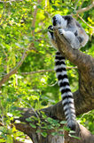 Ring-Tailed Lemur Scratching Royalty Free Stock Photo
