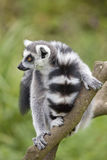 Ring Tailed Lemur Stock Photography