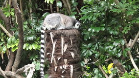 Ring-tailed lemur sit on a tree stock footage