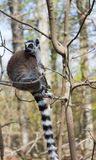 Ring-tailed lemur sits alone in a tree stock photography