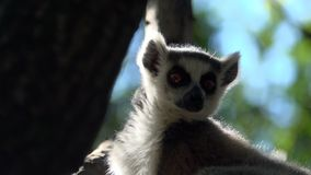 Ring tailed Lemur sits high up in a tree. Scene of a ring tailed Lemur high up in a tree stock footage