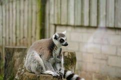 Ring Tailed Lemur Sitting överst av en trädstubbe i fångenskap H Arkivfoton