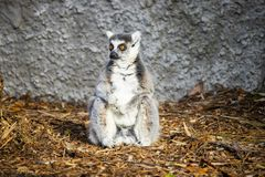 Ring-tailed lemur sitting against a wall stock photography