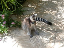 Ring tailed lemur. Sitting down on a pavement Royalty Free Stock Photos