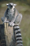 Ring-tailed Lemur sitting with eyes closed. Ring-tailed Lemur (Lemur catta) sitting on a log with eyes closed. Captive. National Zoo, Washington, DC, USA stock image