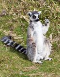 Ring tailed lemur sitting in the grass Royalty Free Stock Image