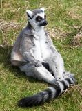 Ring tailed lemur sitting in the grass Royalty Free Stock Photography