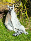 Ring-tailed lemur sitting on the grass Stock Photo