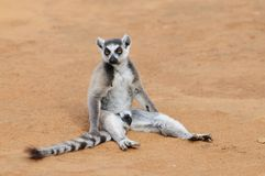 Ring-Tailed Lemur Sitting on the Ground Stock Photo