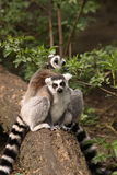 Ring-tailed lemur sitting on a log Royalty Free Stock Photos