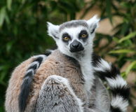 Ring Tailed Lemur in sitting position. This picture shows you a Lemur looking straight at the camera royalty free stock photos