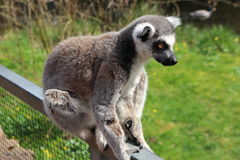 Ring-tailed Lemur. Sitting on a railing, Prague Zoo, Czech Republic stock photo