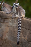 Ring Tailed Lemur. Sitting on rock Royalty Free Stock Images