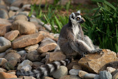 Ring Tailed Lemur. A Ring Tailed Lemur sitting on rocks Stock Photo