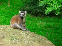 Ring-tailed lemur sitting on stone stock images