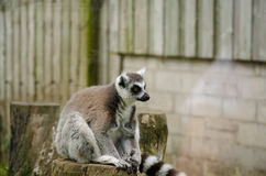 Lemur Ring-Tailed Primate Sitting Top Tree Stump Captivity Stock Photos