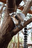 Ring-tailed lemur on a tree. Ring-tailed lemur sitting on a tree Stock Image