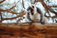 Ring-tailed lemur on a tree. Ring-tailed lemur sitting on a tree Royalty Free Stock Images