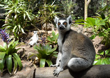 Ring tailed lemur. Sitting on the tree Royalty Free Stock Photography