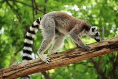 Ring-tailed lemur. Sitting on the tree Royalty Free Stock Photos