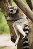 Ring-tailed lemur sitting on the tree Stock Photography