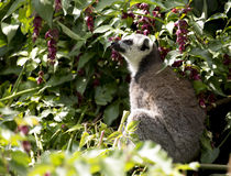 Ring Tailed Lemur sitting on a tree branch Stock Photography