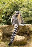 Ring Tailed Lemur sitting on a tree branch Royalty Free Stock Photography