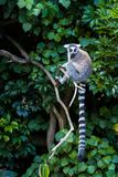 Ring-tailed Lemur. Is sitting on a tree branch show off it`s long tail Stock Image