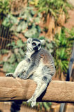 Ring-tailed lemur sitting on the tree. Lemur catta endemic to the island of Madagascar Royalty Free Stock Image
