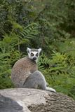 Ring-tailed Lemur sitting on a Tree Stump Stock Photo