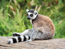 Ring-tailed lemur sitting on the tree stump Stock Images