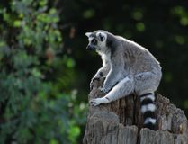 Sitting Lemur Stock Photo