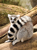 A ring-tailed lemur is sitting on a tree trunk royalty free stock photo