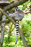Ring-tailed lemur is sitting on a tree trunk Royalty Free Stock Photography