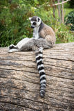 Ring-tailed lemur sitting on the tree trunk Stock Image