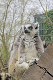 Ring-tailed lemur sitting on a tree in a Zoo Stock Image