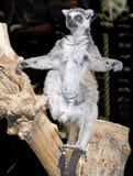 Ring-tailed lemur sitting upright Stock Photo