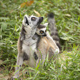 Ring-tailed lemur with the small baby Stock Image