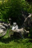 Ring-tailed lemur stand on a tree Stock Photography