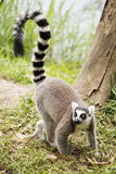 Ring-tailed lemur standing Stock Photography