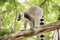 Ring-tailed lemur standing. On the tree Royalty Free Stock Photo