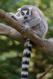 Ring-tailed Lemur. A ring-tailed lemur stares intently at the photographer Royalty Free Stock Photo