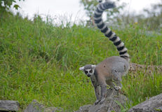 Ring-tailed lemur. On the stone Stock Image