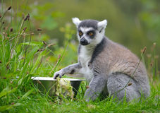 Ring-tailed lemur. On the stone Stock Photos