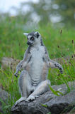 Ring-tailed lemur. On a stone Stock Photo